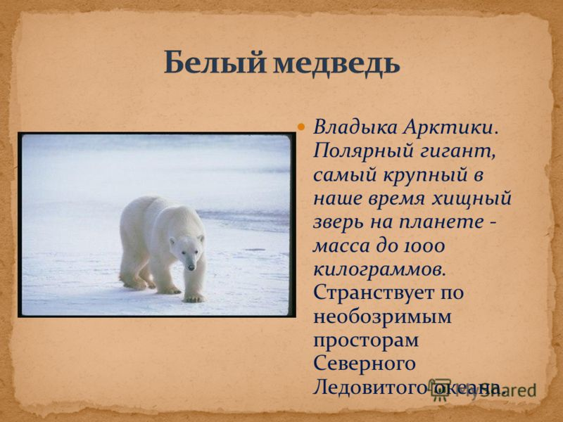 Владыка Арктики. Полярный гигант, самый крупный в наше время хищный зверь на планете - масса до 1000 килограммов. Странствует по необозримым просторам Северного Ледовитого океана.