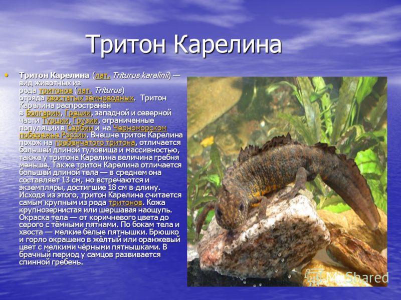 Тритон Карелина Тритон Карелина Тритон Карелина (лат. Triturus karelinii) вид животных из рода тритонов (лат. Triturus) отряда хвостатых земноводных. Тритон Карелина распространён в Болгарии, Греции, западной и северной части Турции, Грузии, ограниче