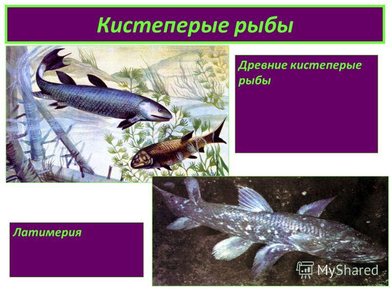 Кистеперые рыбы Древние кистеперые рыбы Латимерия