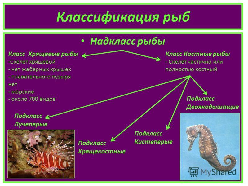 Классификация рыб Надкласс рыбы Класс Хрящевые рыбы -Скелет хрящевой - нет жаберных крышек - плавательного пузыря нет - морские - около 700 видов Класс Костные рыбы - Скелет частично или полностью костный Подкласс Лучеперые Подкласс Хрящекостные Подк