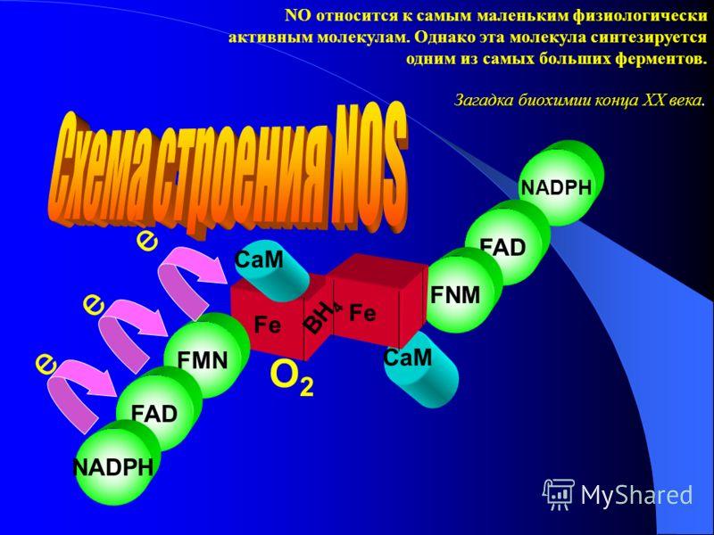 CaM Fe NADPH FAD FNM Fe NO относится к самым маленьким физиологически активным молекулам. Однако эта молекула синтезируется одним из самых больших ферментов. Загадка биохимии конца ХХ века. FMN FAD NADPH e e BH 4 CaM e O2O2