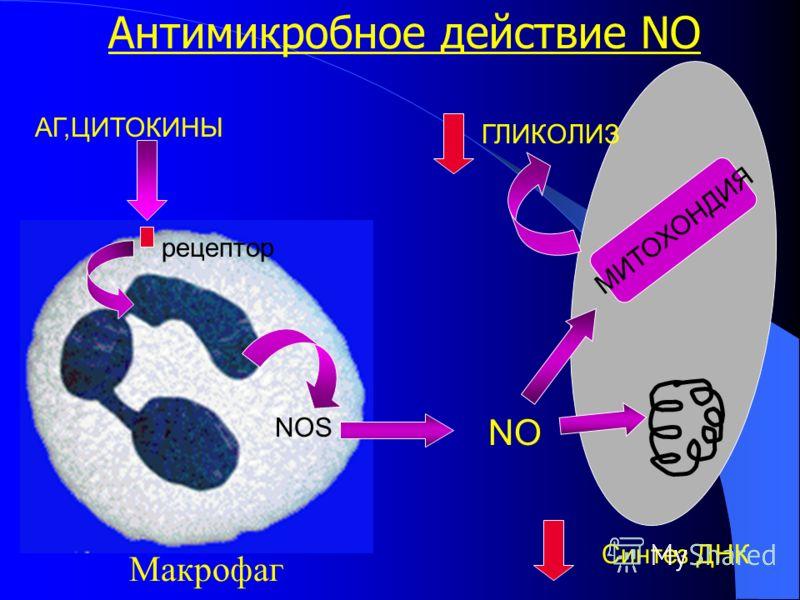 Антимикробное действие NO АГ,ЦИТОКИНЫ рецептор NOS NO МИТОХОНДИЯ ГЛИКОЛИЗ Синтез ДНК Макрофаг