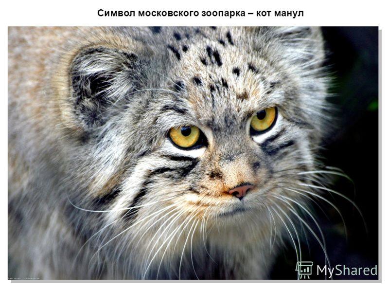 Символ московского зоопарка – кот манул