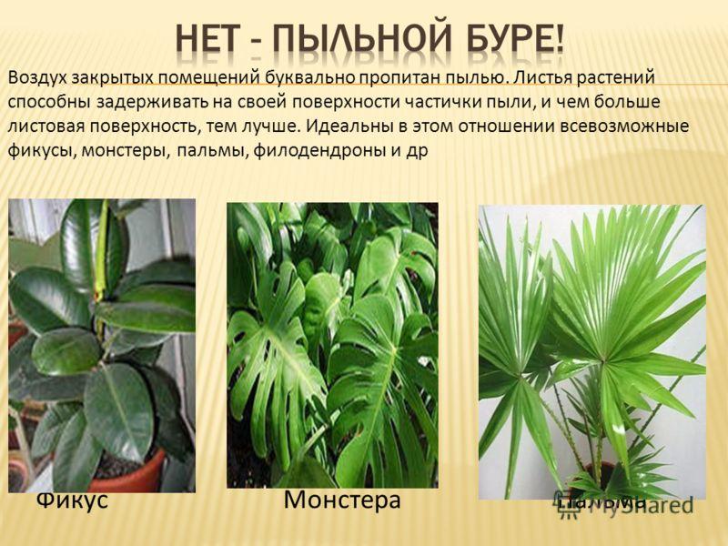 Воздух закрытых помещений буквально пропитан пылью. Листья растений способны задерживать на своей поверхности частички пыли, и чем больше листовая поверхность, тем лучше. Идеальны в этом отношении всевозможные фикусы, монстеры, пальмы, филодендроны и