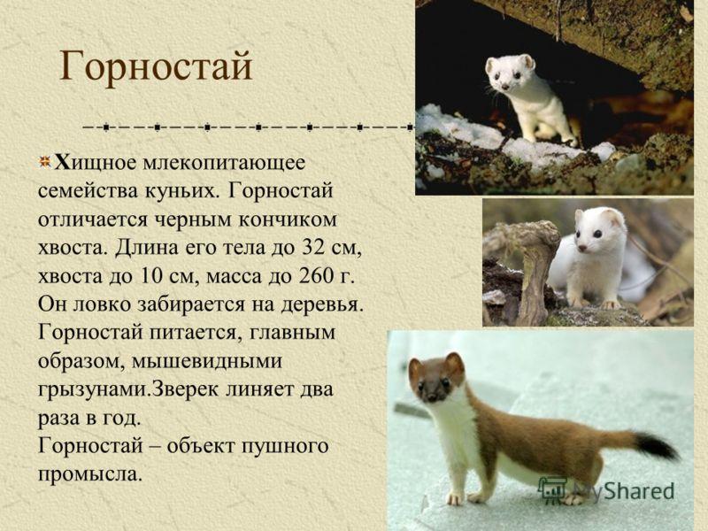 Животные тундры горностай доклад 4484