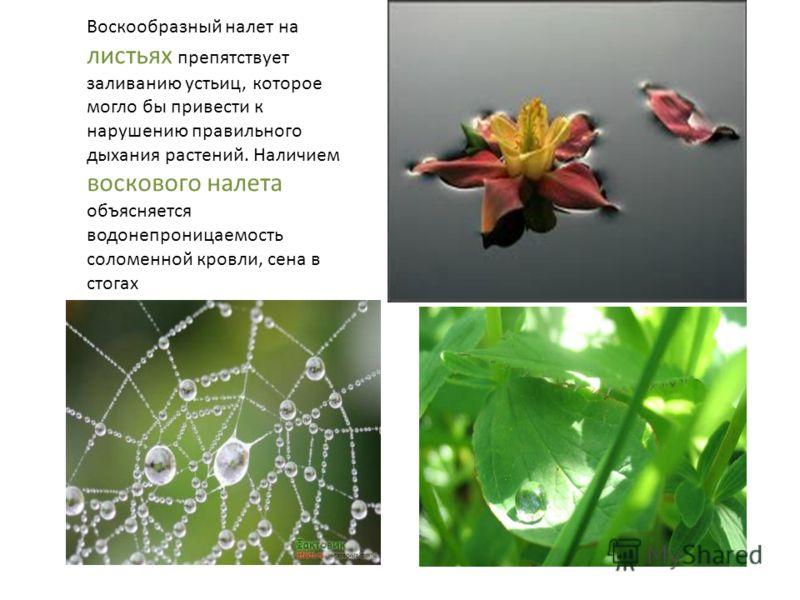 Воскообразный налет на листьях препятствует заливанию устьиц, которое могло бы привести к нарушению правильного дыхания растений. Наличием воскового налета объясняется водонепроницаемость соломенной кровли, сена в стогах