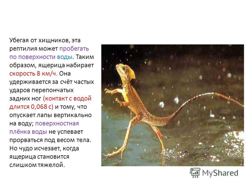 Убегая от хищников, эта рептилия может пробегать по поверхности воды. Таким образом, ящерица набирает скорость 8 км/ч. Она удерживается за счёт частых ударов перепончатых задних ног (контакт с водой длится 0,068 с) и тому, что опускает лапы вертикаль