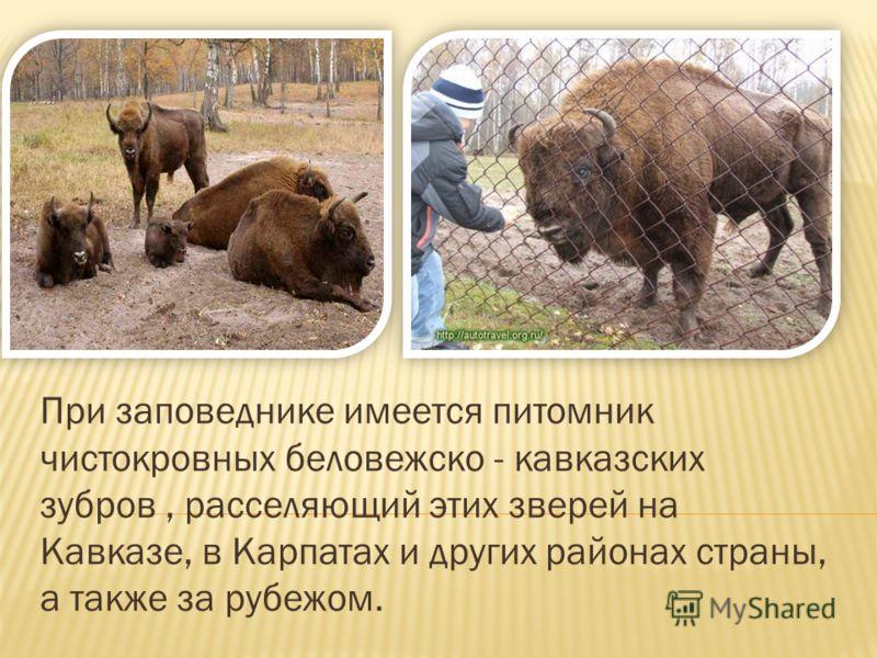 При заповеднике имеется питомник чистокровных беловежско - кавказских зубров, расселяющий этих зверей на Кавказе, в Карпатах и других районах страны, а также за рубежом.