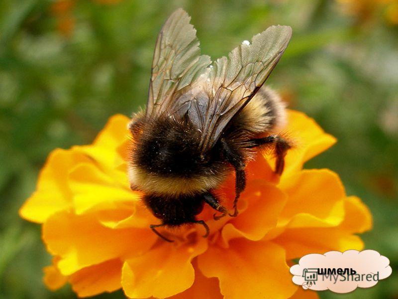 пчелапчела