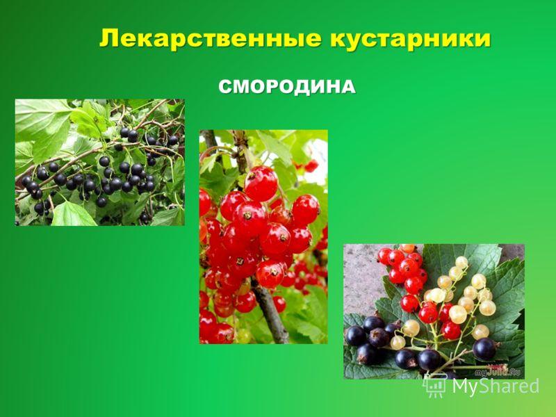 Лекарственные кустарники СМОРОДИНА