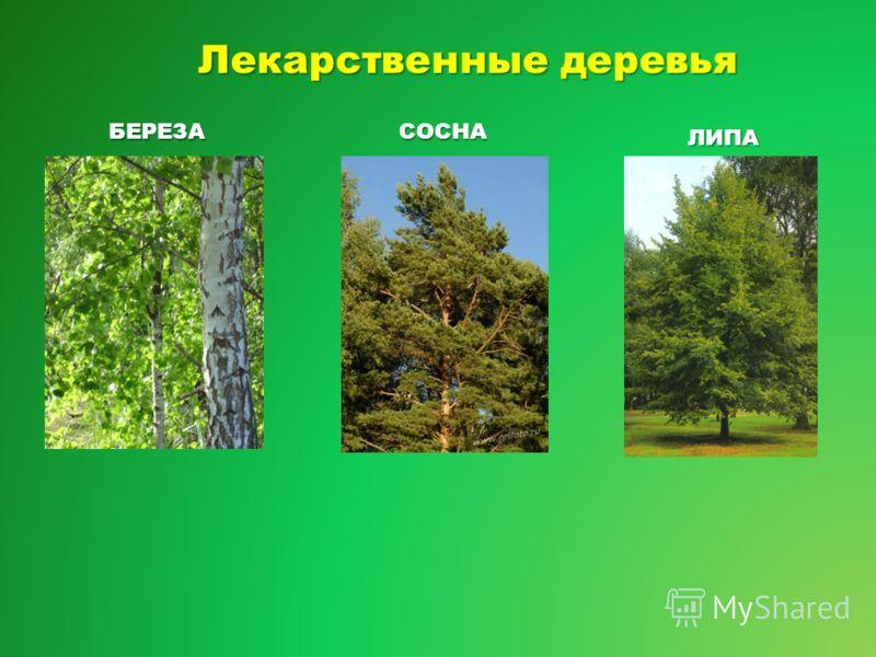 Лекарственные деревья БЕРЕЗАСОСНА ЛИПА