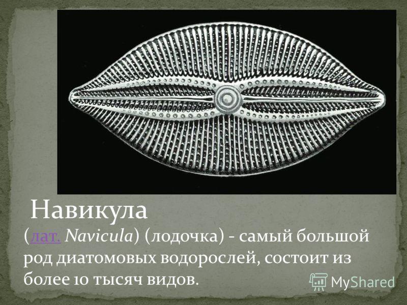(лат. Navicula) (лодочка) - самый большой род диатомовых водорослей, состоит из более 10 тысяч видов.лат. Навикула