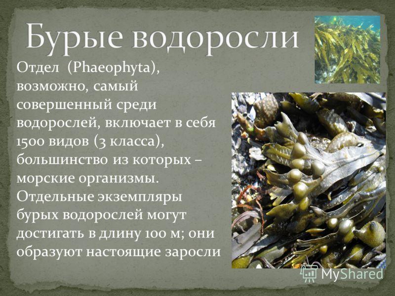 Отдел (Phaeophyta), возможно, самый совершенный среди водорослей, включает в себя 1500 видов (3 класса), большинство из которых – морские организмы. Отдельные экземпляры бурых водорослей могут достигать в длину 100 м; они образуют настоящие заросли