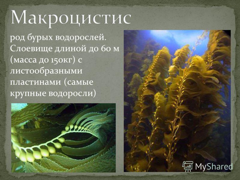 род бурых водорослей. Слоевище длиной до 60 м (масса до 150кг) с листообразными пластинами (самые крупные водоросли)
