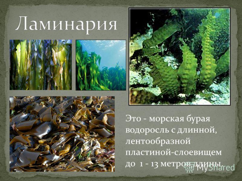 Это - морская бурая водоросль с длинной, лентообразной пластиной-слоевищем до 1 - 13 метров длины.