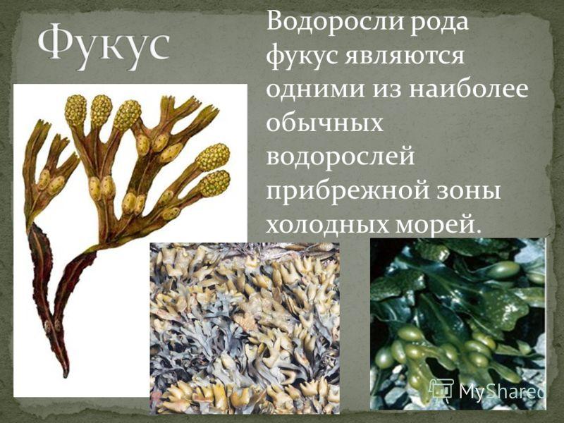 Водоросли рода фукус являются одними из наиболее обычных водорослей прибрежной зоны холодных морей.