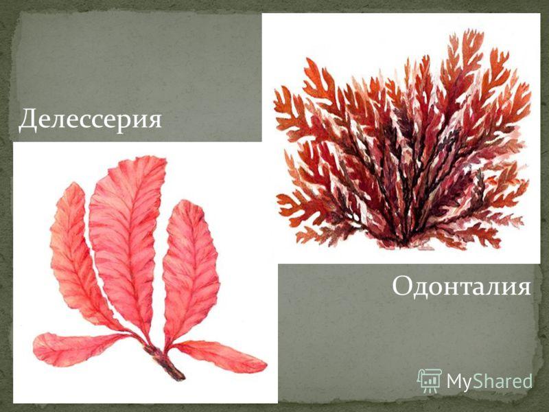 Одонталия Делессерия