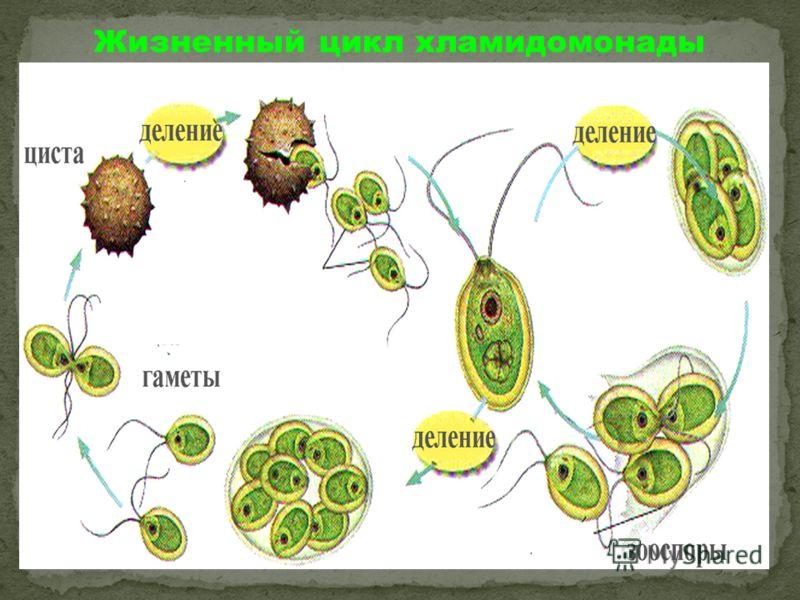Жизненный цикл хламидомонады