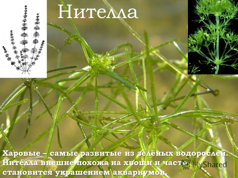 Харовые – самые развитые из зелёных водорослей. Нителла внешне похожа на хвощи и часто становится украшением аквариумов. Нителла