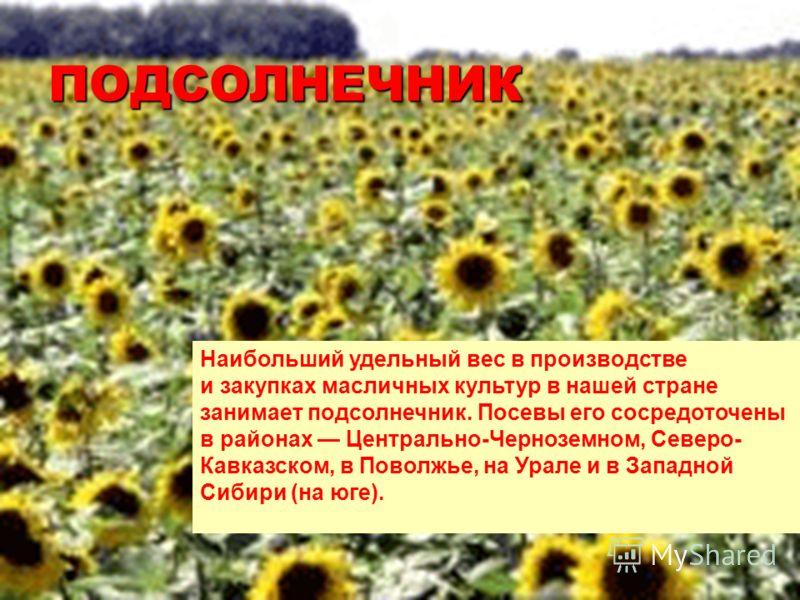 ПОДСОЛНЕЧНИК Наибольший удельный вес в производстве и закупках масличных культур в нашей стране занимает подсолнечник. Посевы его сосредоточены в районах Центрально-Черноземном, Северо- Кавказском, в Поволжье, на Урале и в Западной Сибири (на юге).
