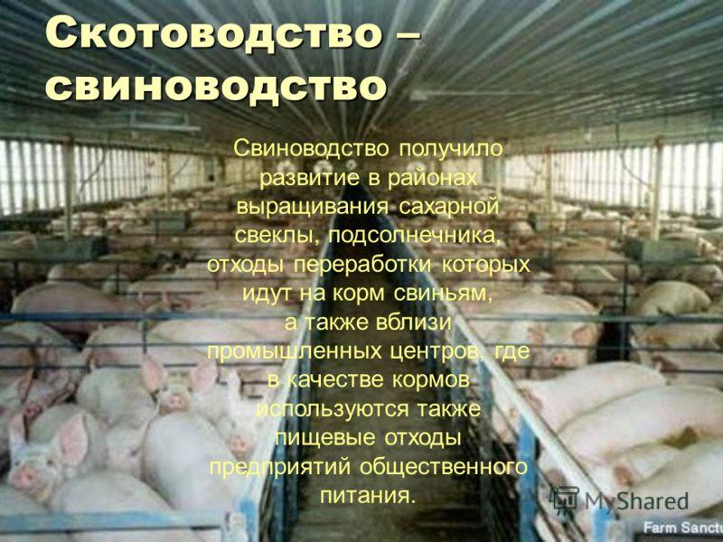 Свиноводство получило развитие в районах выращивания сахарной свеклы, подсолнечника, отходы переработки которых идут на корм свиньям, а также вблизи промышленных центров, где в качестве кормов используются также пищевые отходы предприятий общественно