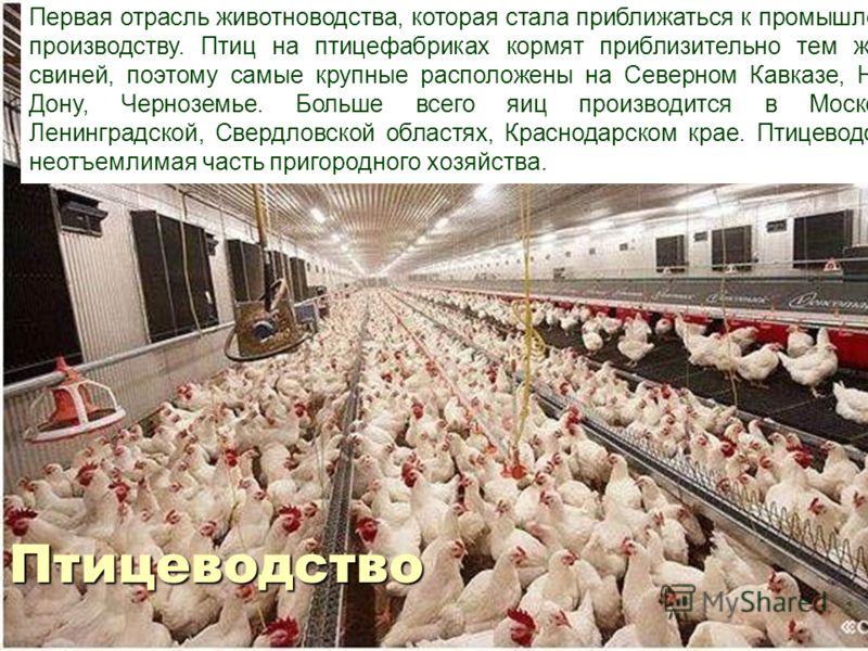 Первая отрасль животноводства, которая стала приближаться к промышленному производству. Птиц на птицефабриках кормят приблизительно тем же, чем свиней, поэтому самые крупные расположены на Северном Кавказе, Нижнем Дону, Черноземье. Больше всего яиц п