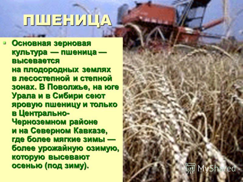 ПШЕНИЦА Основная зерновая культура пшеница высевается на плодородных землях в лесостепной и степной зонах. В Поволжье, на юге Урала и в Сибири сеют яровую пшеницу и только в Центрально- Черноземном районе и на Северном Кавказе, где более мягкие зимы