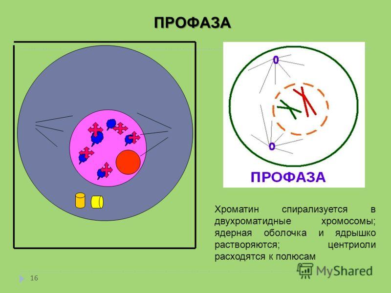 ПРОФАЗА ПРОФАЗА Хроматин спирализуется в двухроматидные хромосомы; ядерная оболочка и ядрышко растворяются; центриоли расходятся к полюсам 16