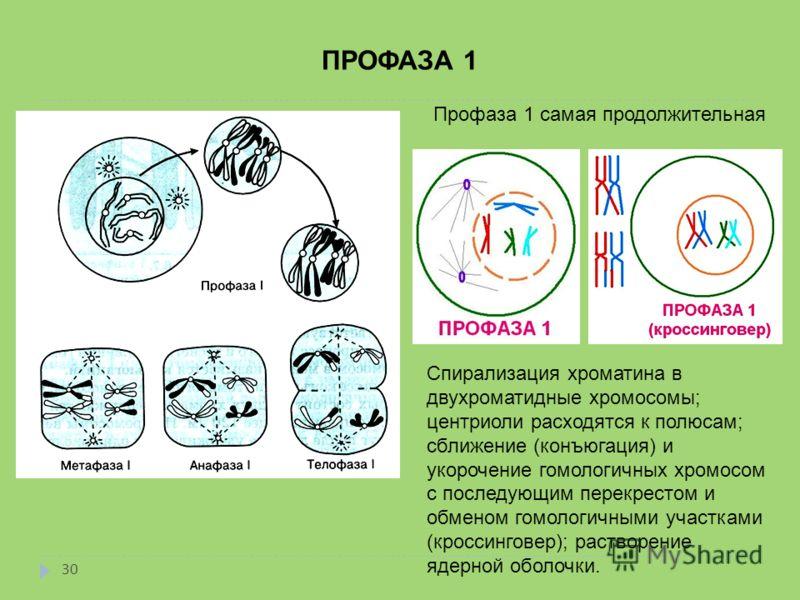 ПРОФАЗА 1 Профаза 1 самая продолжительная Спирализация хроматина в двухроматидные хромосомы; центриоли расходятся к полюсам; сближение (конъюгация) и укорочение гомологичных хромосом с последующим перекрестом и обменом гомологичными участками (кросси