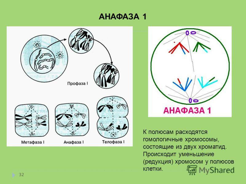 АНАФАЗА 1 К полюсам расходятся гомологичные хромосомы, состоящие из двух хроматид. Происходит уменьшение (редукция) хромосом у полюсов клетки. 32