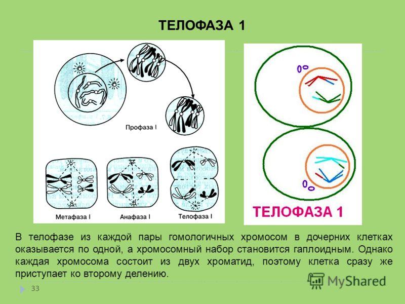 ТЕЛОФАЗА 1 В телофазе из каждой пары гомологичных хромосом в дочерних клетках оказывается по одной, а хромосомный набор становится гаплоидным. Однако каждая хромосома состоит из двух хроматид, поэтому клетка сразу же приступает ко второму делению. 33