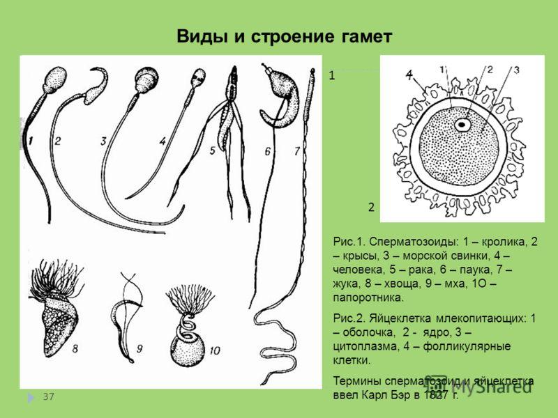 Виды и строение гамет 1 2 Рис.1. Сперматозоиды: 1 – кролика, 2 – крысы, 3 – морской свинки, 4 – человека, 5 – рака, 6 – паука, 7 – жука, 8 – хвоща, 9 – мха, 1О – папоротника. Рис.2. Яйцеклетка млекопитающих: 1 – оболочка, 2 - ядро, 3 – цитоплазма, 4