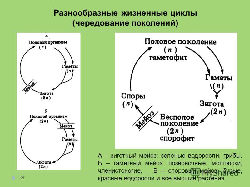 Разнообразные жизненные циклы (чередование поколений) А – зиготный мейоз: зеленые водоросли, грибы. Б – гаметный мейоз: позвоночные, моллюски, членистоногие. В – споровый мейоз: бурые, красные водоросли и все высшие растения. 39