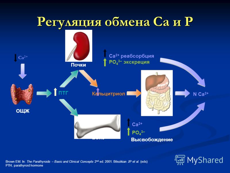 N Ca 2+ Ca 2+ PO 4 3– Высвобождение Bone Почки Ca 2+ реабсорбция PO 4 3– экскреция ПТГ Регуляция обмена Са и Р Brown EM. In: The Parathyroids – Basic and Clinical Concepts 2 nd ed. 2001. Bilezikian JP et al. (eds) PTH, parathyroid hormone Ca 2+ ОЩЖ К