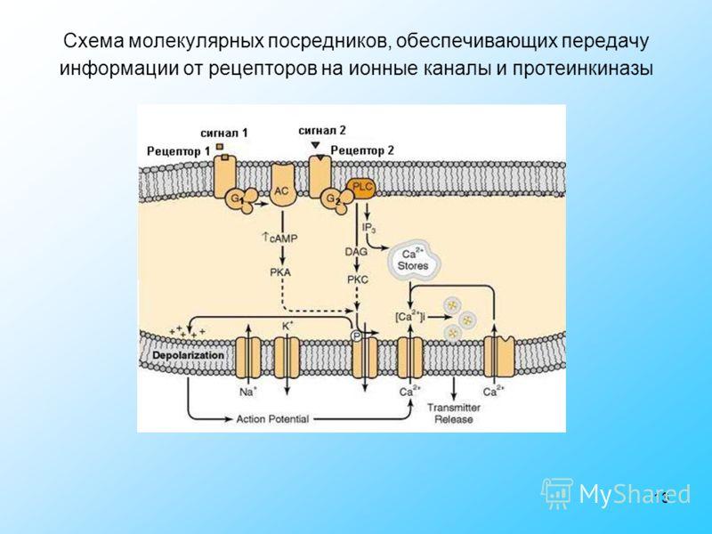13 Схема молекулярных посредников, обеспечивающих передачу информации от рецепторов на ионные каналы и протеинкиназы