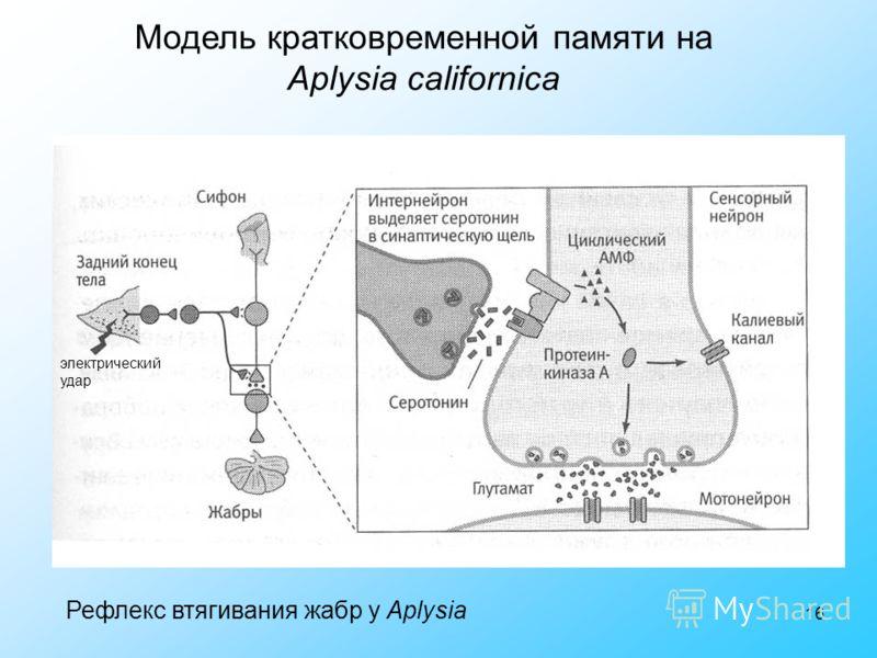 16 Модель кратковременной памяти на Aplysia californica электрический удар Рефлекс втягивания жабр у Aplysia