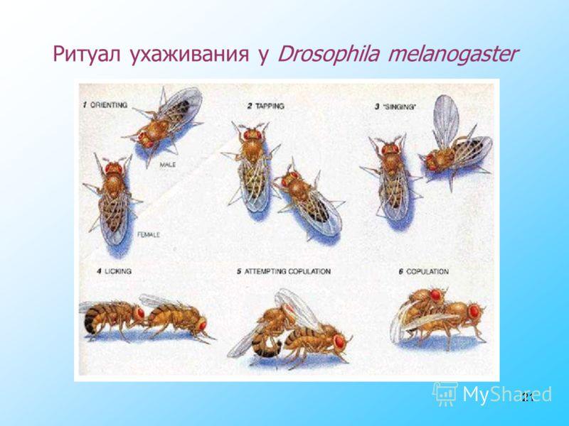 21 Ритуал ухаживания у Drosophila melanogaster