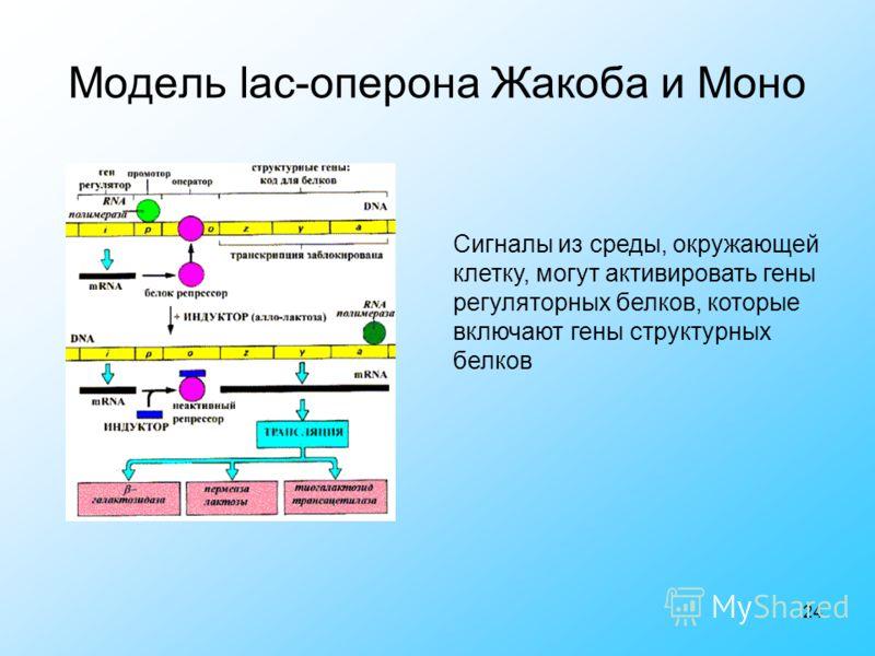 24 Модель lac-оперона Жакоба и Моно Сигналы из среды, окружающей клетку, могут активировать гены регуляторных белков, которые включают гены структурных белков