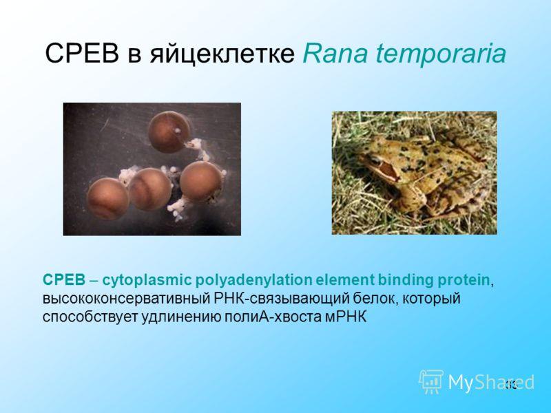 33 CPEB в яйцеклетке Rana temporaria CPEB – cytoplasmic polyadenylation element binding protein, высококонсервативный РНК-связывающий белок, который способствует удлинению полиА-хвоста мРНК