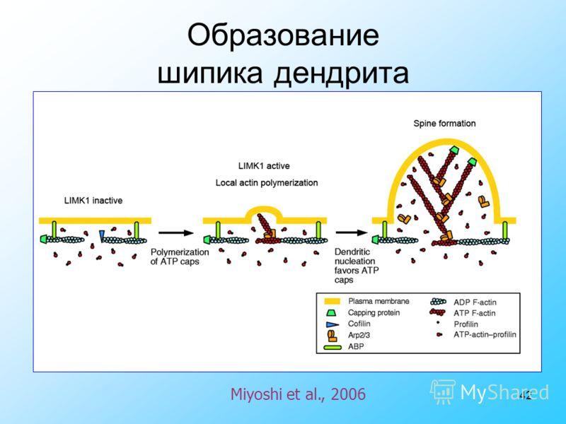 42 Miyoshi et al., 2006 Образование шипика дендрита
