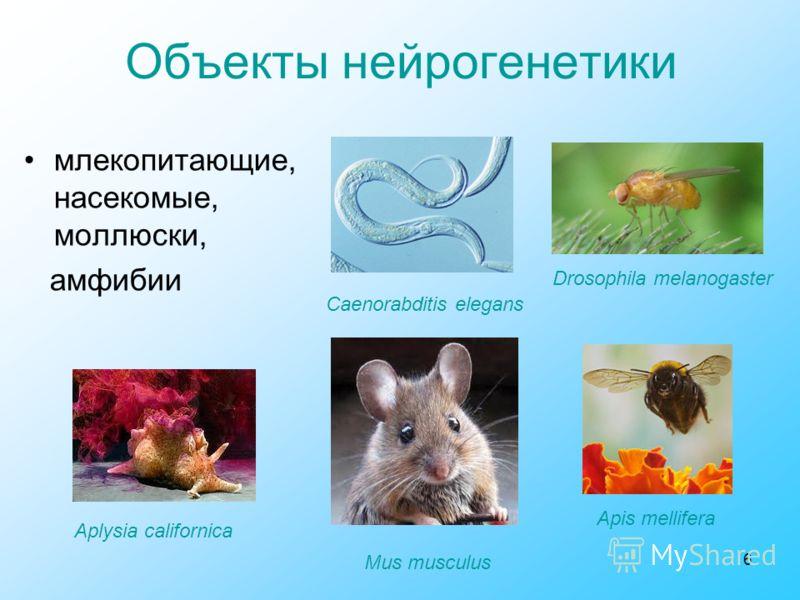 6 Объекты нейрогенетики млекопитающие, насекомые, моллюски, амфибии Aplysia californica Apis mellifera Mus musculus Drosophila melanogaster Caenorabditis elegans