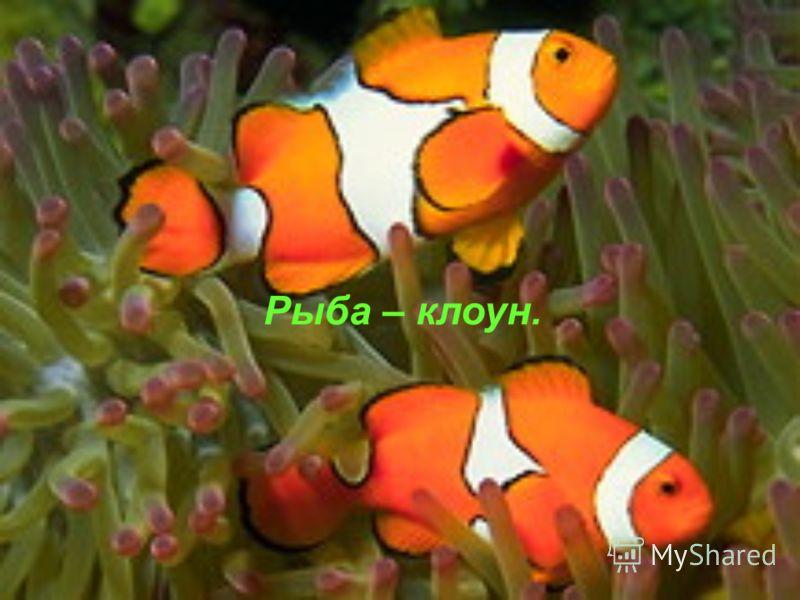 Рыба – клоун.