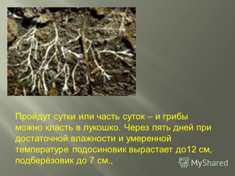 Пройдут сутки или часть суток – и грибы можно класть в лукошко. Через пять дней при достаточной влажности и умеренной температуре подосиновик вырастает до12 см, подберёзовик до 7 см.,