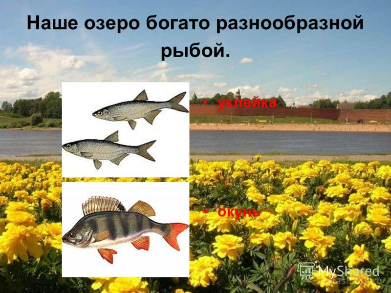 Наше озеро богато разнообразной рыбой. уклейка окунь
