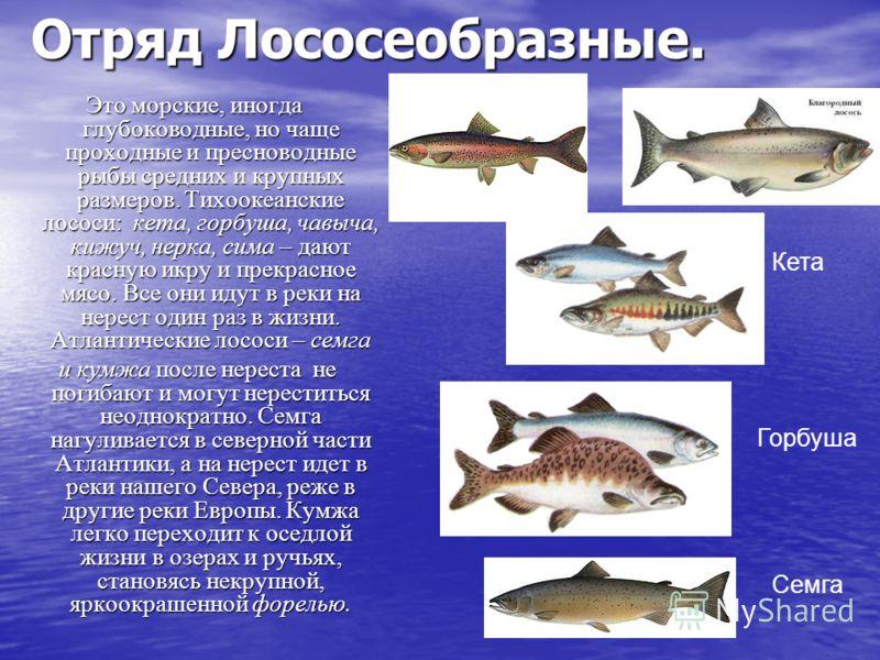 Отряд Лососеобразные. Это морские, иногда глубоководные, но чаще проходные и пресноводные рыбы средних и крупных размеров. Тихоокеанские лососи: кета, горбуша, чавыча, кижуч, нерка, сима – дают красную икру и прекрасное мясо. Все они идут в реки на н