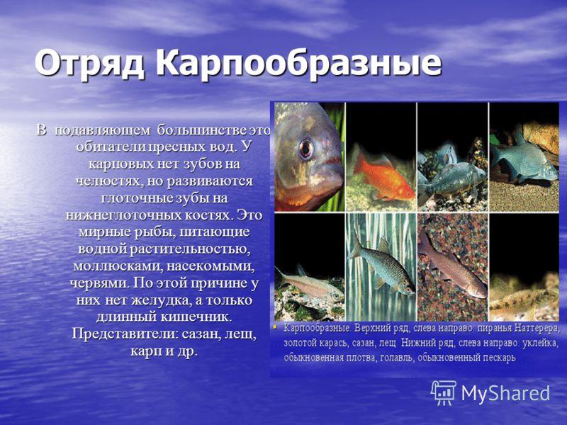 Отряд Карпообразные В подавляющем большинстве это обитатели пресных вод. У карповых нет зубов на челюстях, но развиваются глоточные зубы на нижнеглоточных костях. Это мирные рыбы, питающие водной растительностью, моллюсками, насекомыми, червями. По э