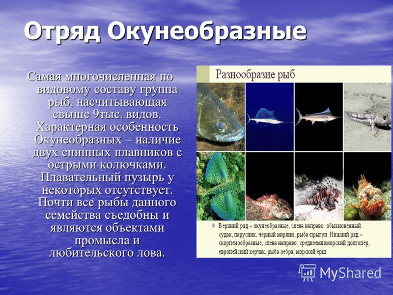 Отряд Окунеобразные Самая многочисленная по видовому составу группа рыб, насчитывающая свыше 9тыс. видов. Характерная особенность Окунеобразных – наличие двух спинных плавников с острыми колючками. Плавательный пузырь у некоторых отсутствует. Почти в