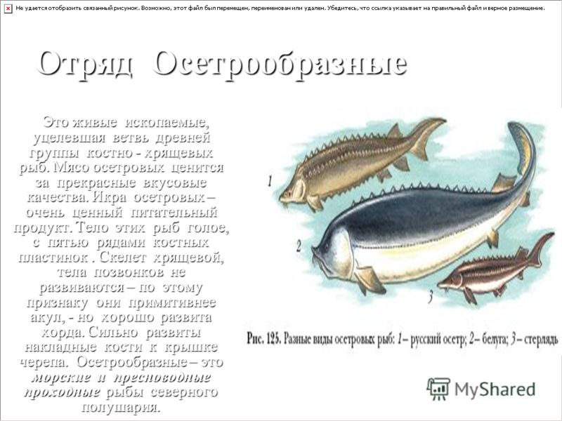 Отряд Осетрообразные Это живые ископаемые, уцелевшая ветвь древней группы костно - хрящевых рыб. Мясо осетровых ценится за прекрасные вкусовые качества. Икра осетровых – очень ценный питательный продукт. Тело этих рыб голое, с пятью рядами костных пл