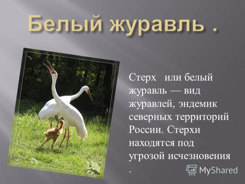 Стерх или белый журавль вид журавлей, эндемик северных территорий России. Стерхи находятся под угрозой исчезновения.