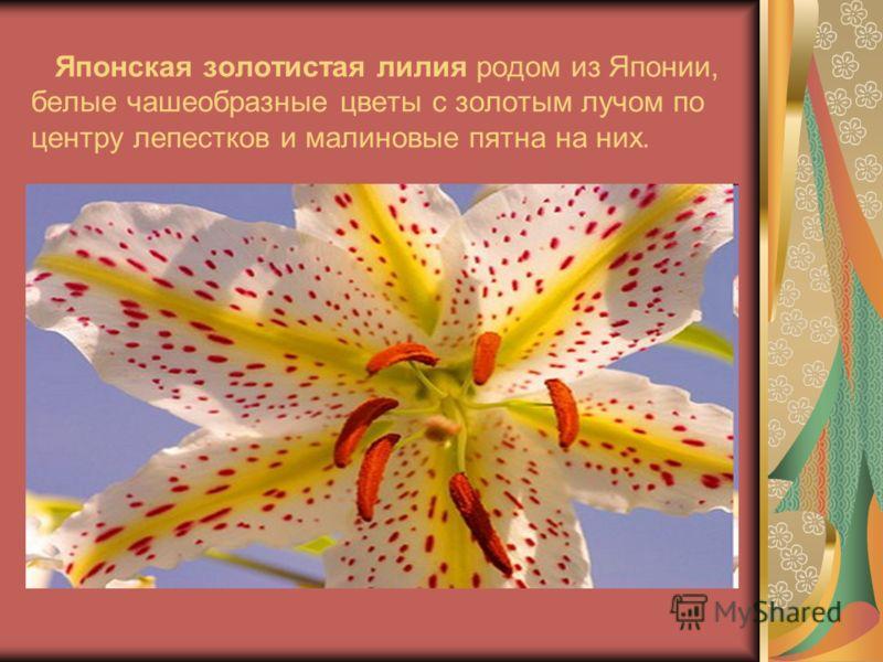Японская золотистая лилия родом из Японии, белые чашеобразные цветы с золотым лучом по центру лепестков и малиновые пятна на них.
